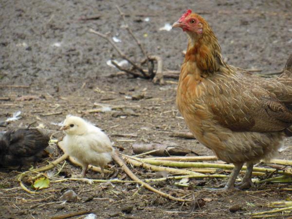 Une cayenne et son petit