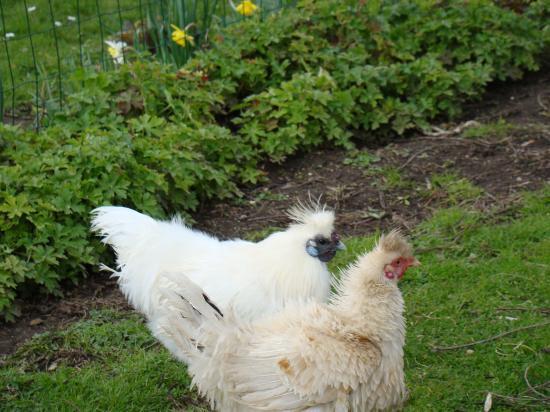 Poule soie blanche