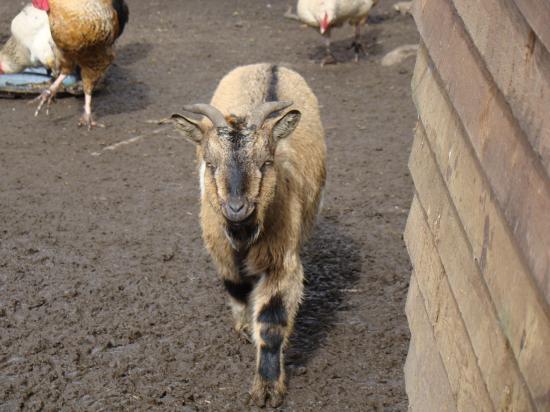 Chèvre : Marlène