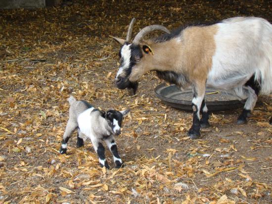 la chèvre et son petit